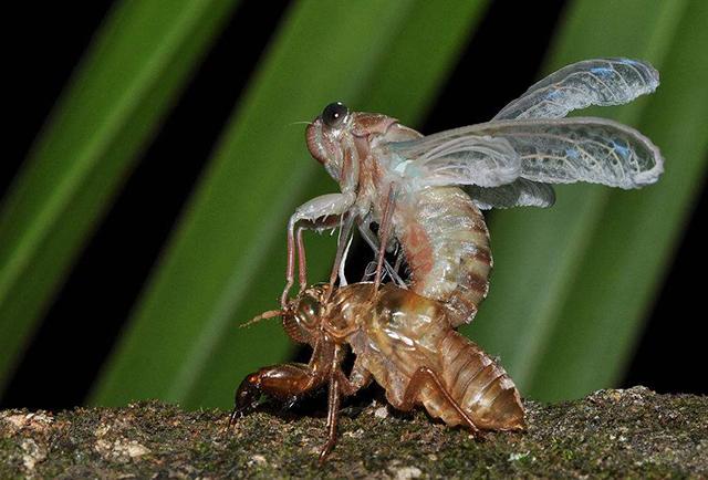 中国人把这种害虫吃到了濒危,精明的人开始人工饲养,依旧不够吃