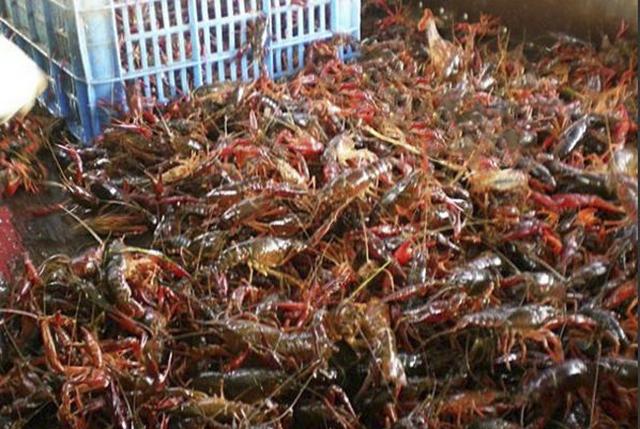 我们吃的不亦乐乎的某虾,在国外居然这么不受待见
